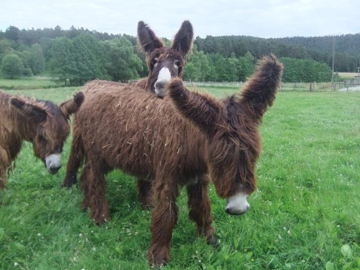 Die Poitou-Esel