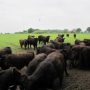 Greiner-Holsten-Galloways -Bullengruppe