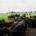 Greiner-Holsten-Galloways -Bullengruppe