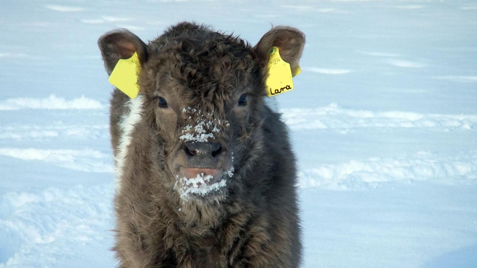 Galloway Kalb im Schnee